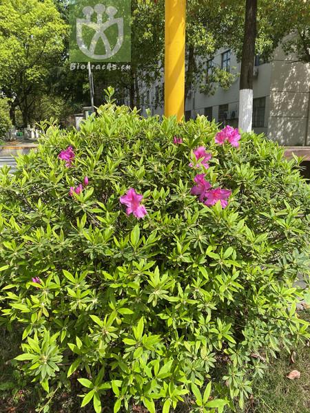 Elaeocarpus brachystachyus var. fengii