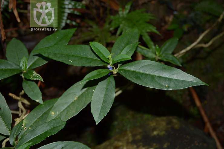 Fimbristylis cinnamometorum