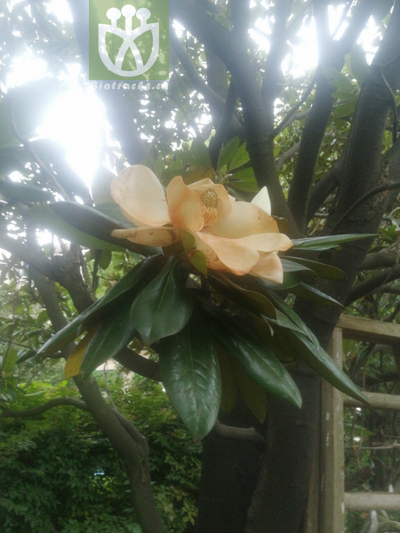 Magnolia grandiflora var. obovata