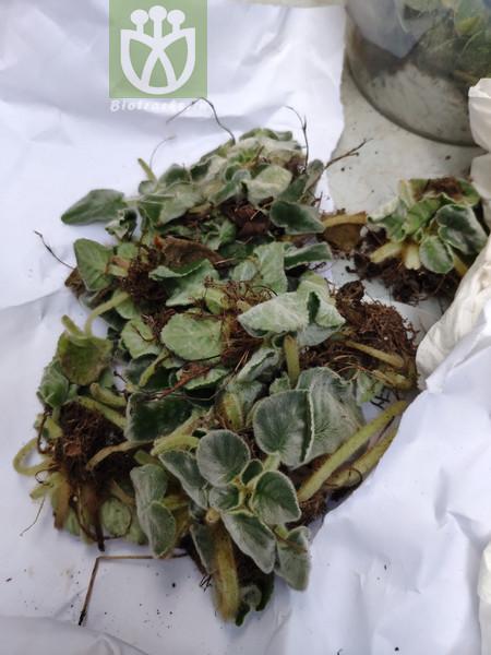 Acacia microneura