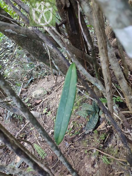 Acacia uncinella