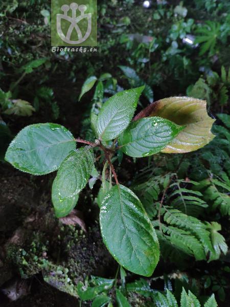 Sparganium simplex