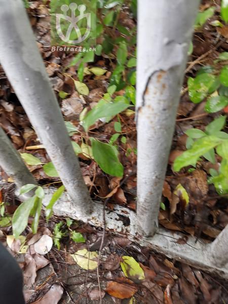 Salvia campanulata var. hirtella