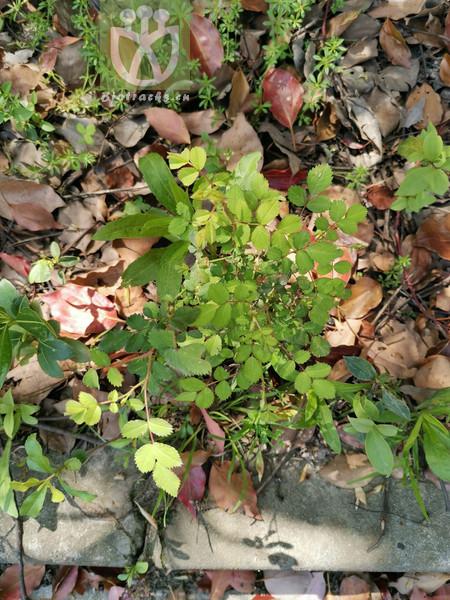 Helianthemum ordosicum