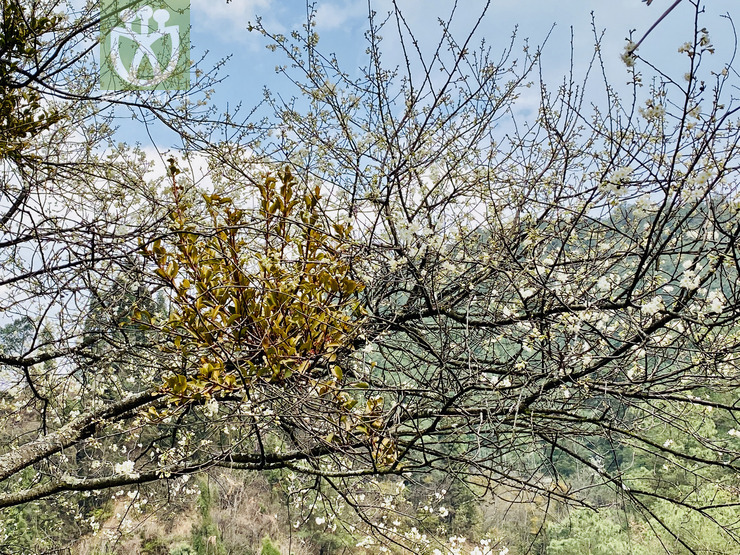 Commersonia dasyphylla