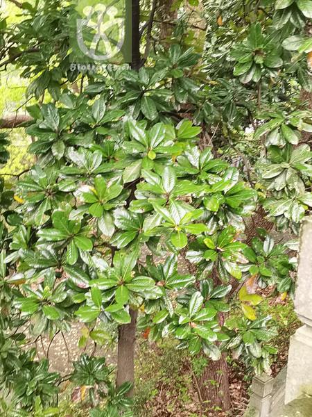 Magnolia lanceolata