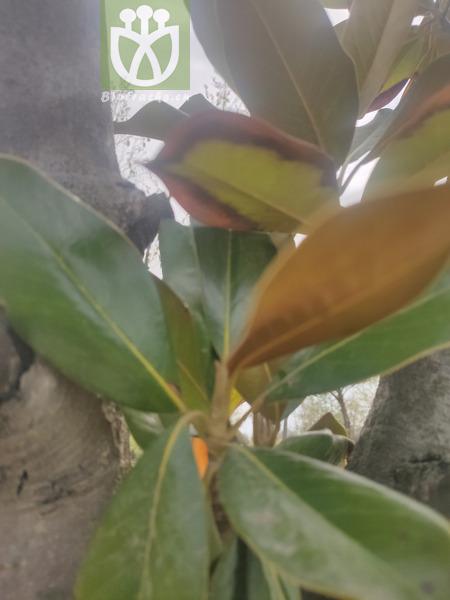 Magnolia virginiana var. grisea