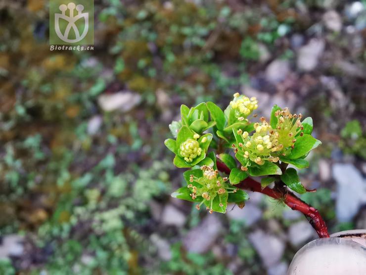 Salix souliei