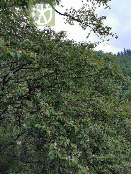 Prunus venosa