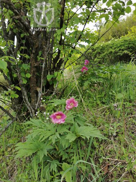 Paeonia anomala subsp. veitchii