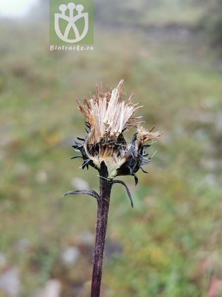 Carduus sp.