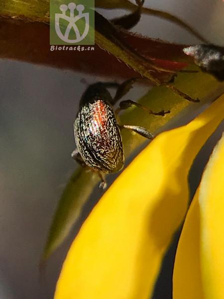 Chamaecrista fasciculata