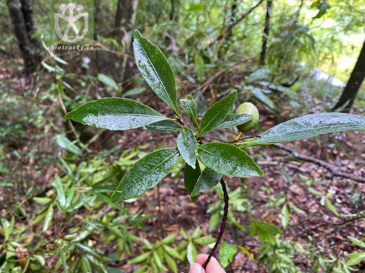 Elaeocarpus lanceaefolius