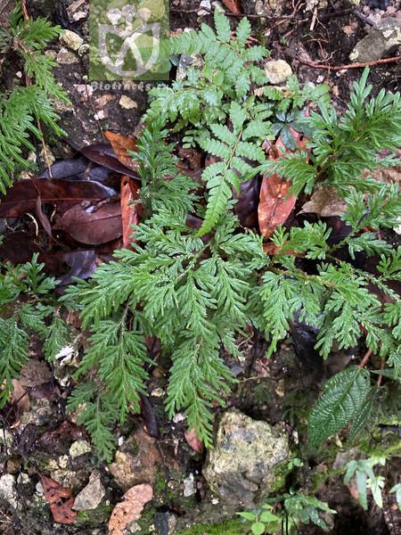 Selaginella japonica