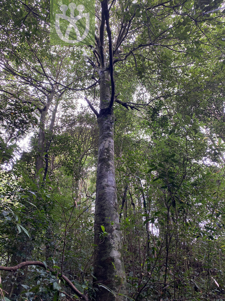 Ormosia glaberrima