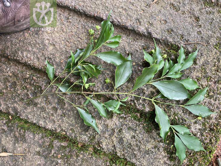 Euonymus rostratus