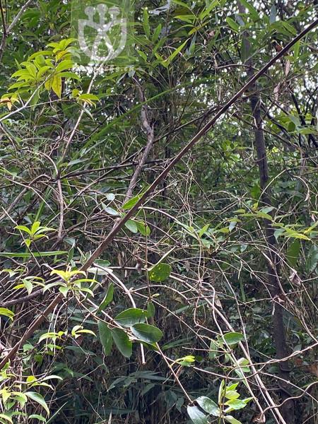Lonicera rhytidophylla