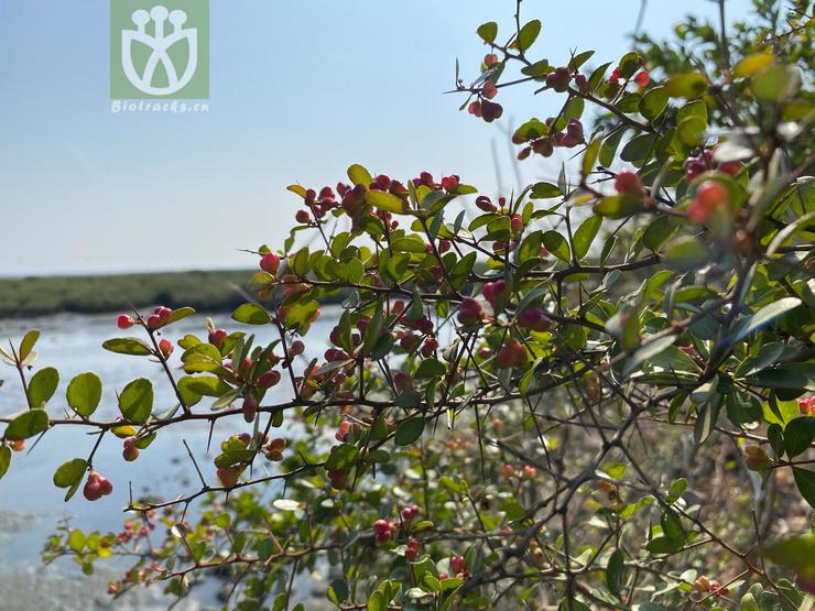 Gymnosporia diversifolia