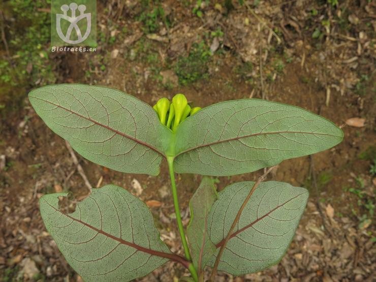 Lonicera yunnanensis var. linearifolia