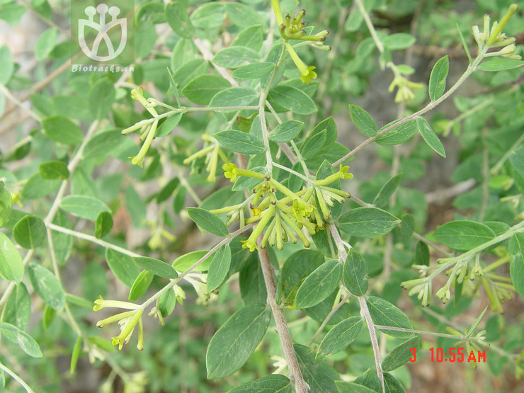 Wikstroemia dolichantha