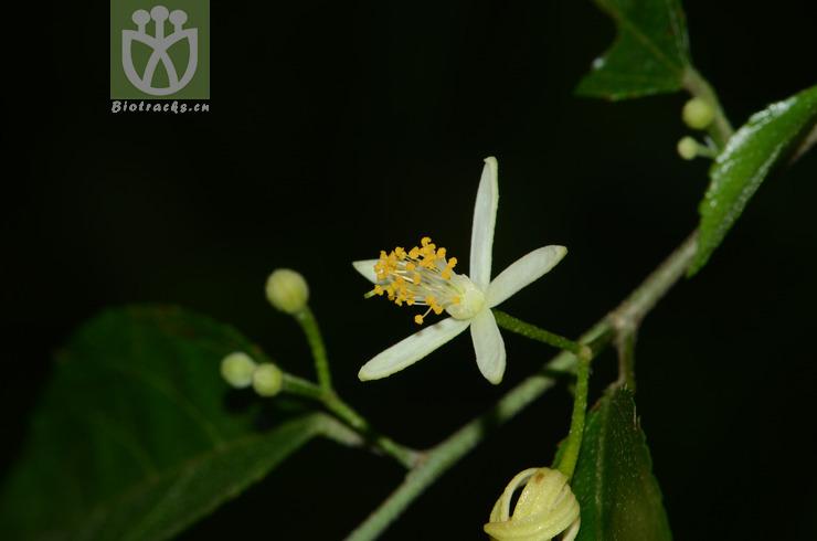 Grewia macropetala