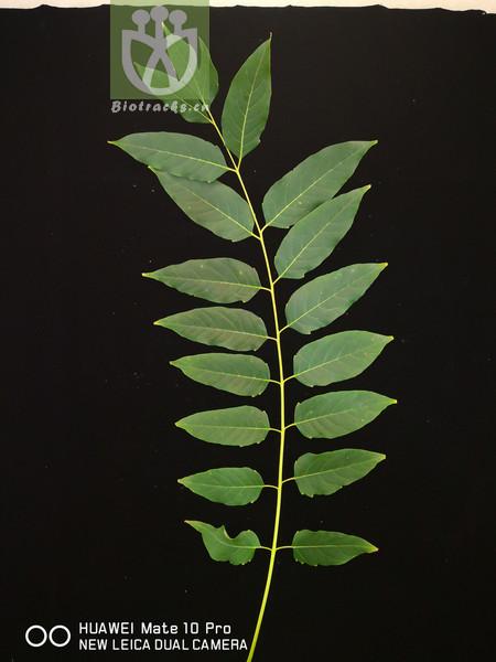 Ailanthus altissima var. leucoxyla