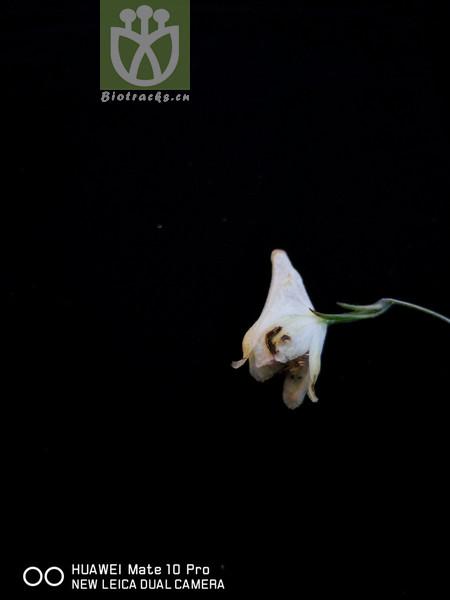 Aconitum apetalum