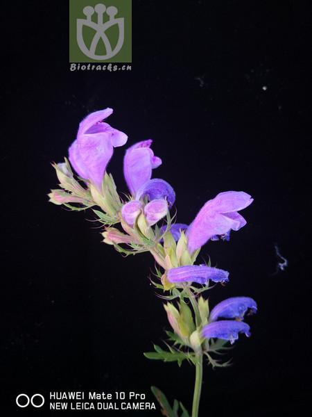 Dracocephalum bipinnatum