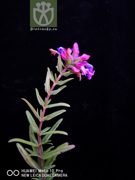 Dracocephalum integrifolium