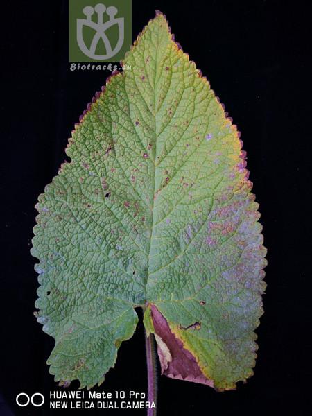 Phlomis alpina