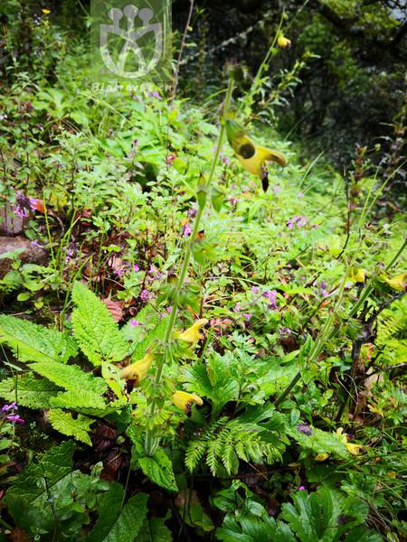Salvia bifidocalyx
