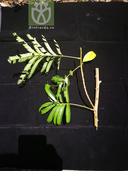 Acacia rugata