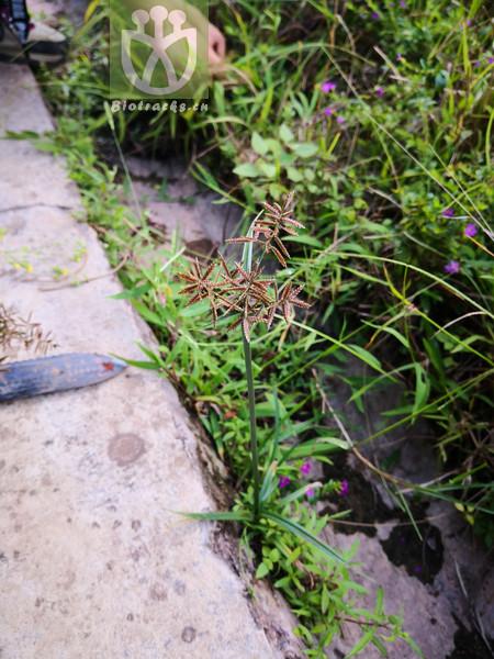Pycreus flavidus