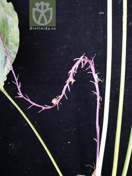 Peliosanthes macrostegia