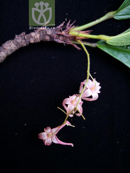 Sterculia hymenocalyx