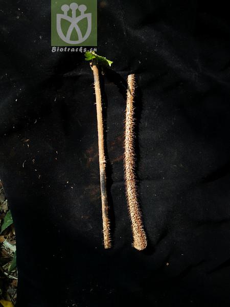 Alsophila gigantea