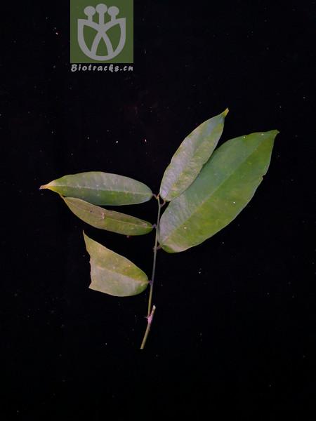 Paramignya confertifolia