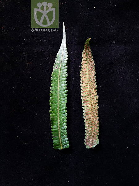 Cyclosorus subelatus