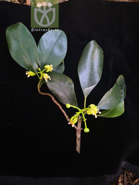 Garcinia multiflora