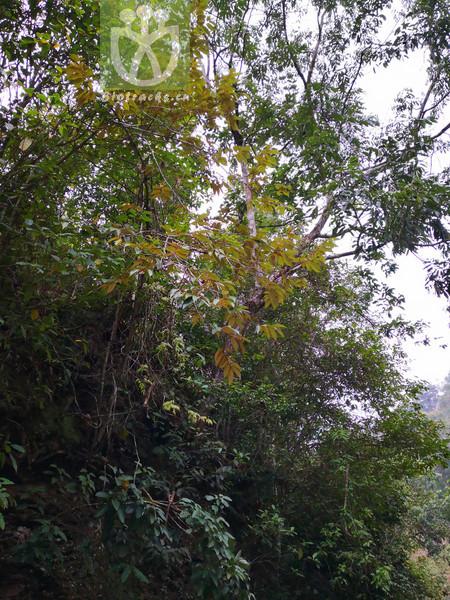 Pterospermum lanceagfolium