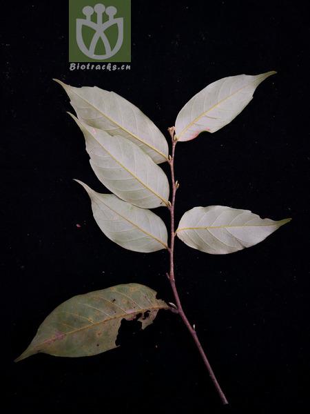 Castanopsis fleuryi