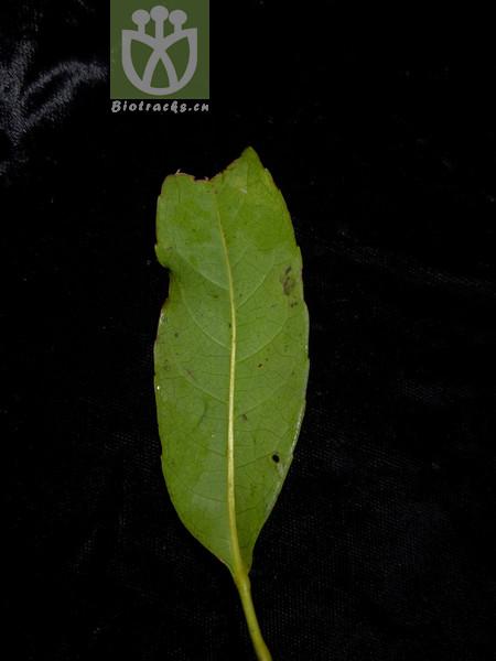 Elaeocarpus lacunosus