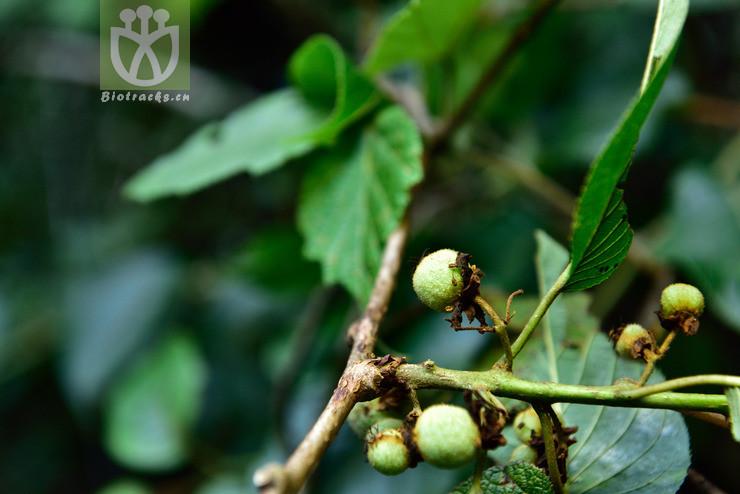 Actinidia platyphylla