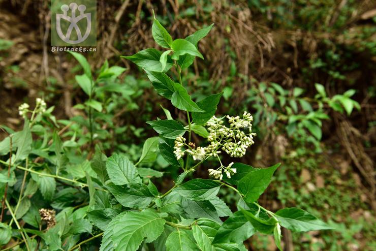 Microglossa pyrifolia