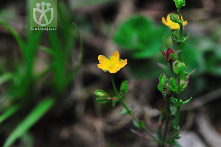 Hypericum petiolulatum