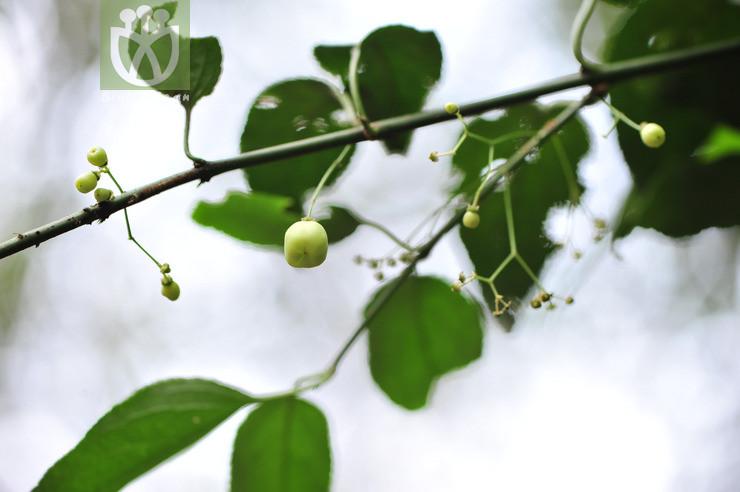 Euonymus hupehensis
