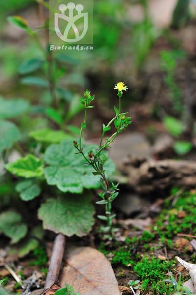 Hypericum petiolulatum subsp. petiolulatum