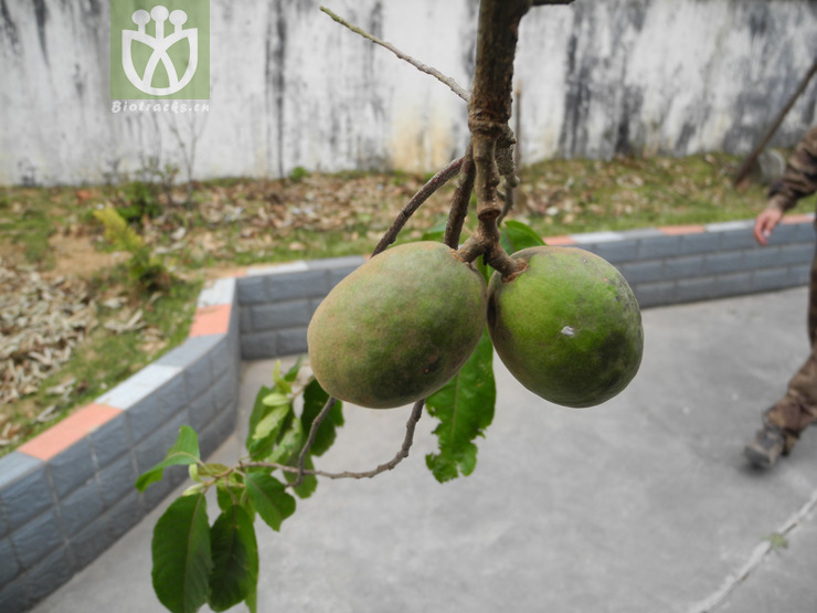 Elaeocarpus braceanus