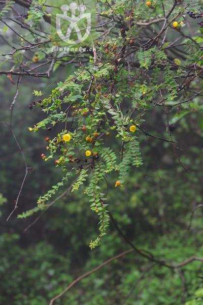 Hypericum henryi