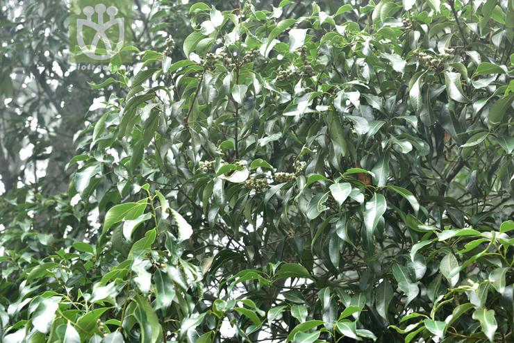 Lithocarpus mairei